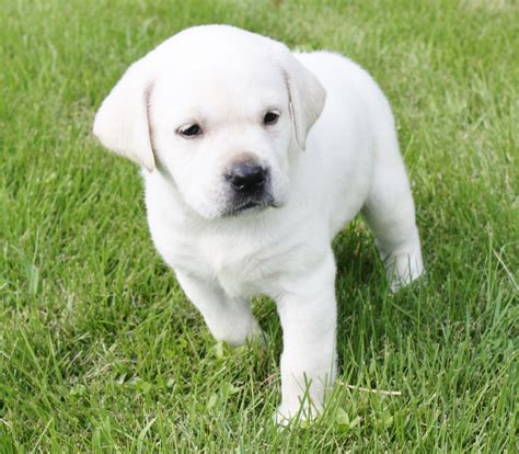 white lab puppies for sale white labrador photos white labs white lab white labradors for sale