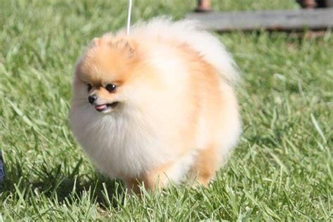 different pomeranian sizes pom a poo puppy at 10 weeks poodle and pomeranian breeds picture