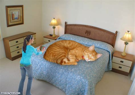 on the bed giant cat asleep on the bed pictures freaking news