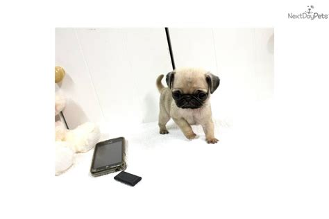 micro teacup pug pin pug price in indiapug puppy for sale gurgaon india mahi sharma ch on