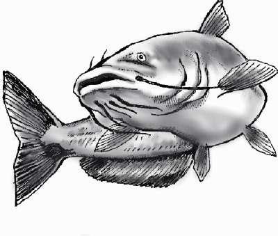 catfish drawing drainhook flickr