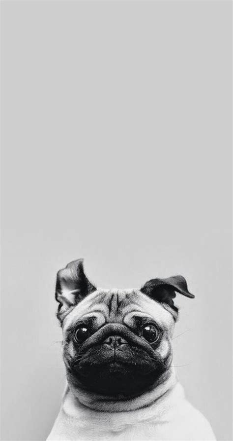 cute puppy dog pet iphone 6 plus wallpaper iphone 6 cute pug iphone wallpaper tap to see collection of cute