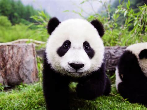 Panda Garden by Half Days Panda Garden Tour Chengdu Tours