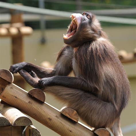 funny baboon pictures  widescreen funny animal
