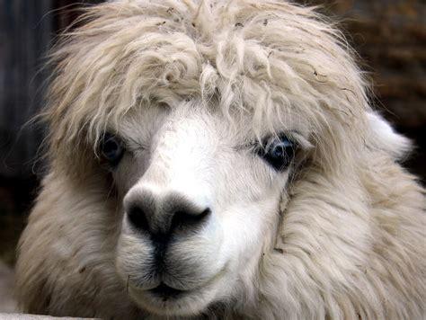 picture alpaca animal face head