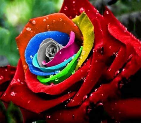 wallpaper bunga yg cantik gambar bunga mawar daunbuah com