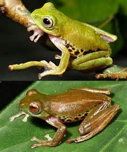 animal that changes color color changing frog rhacophorus penanorum image only