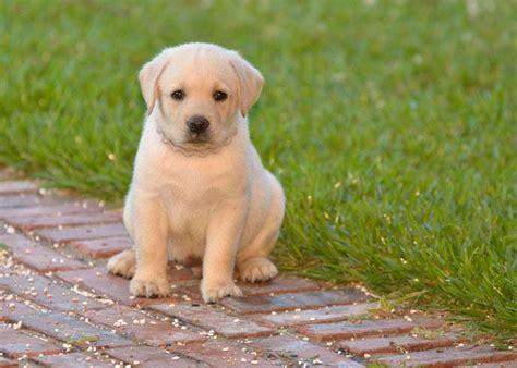 lab puppy names labrador retriever puppy names 1001doggy