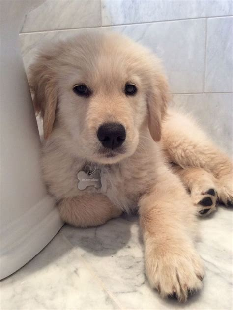 names for a golden retriever 17 best images about golden retriever names on lab puppies the golden and