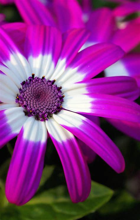 Pupuk Untuk Bunga Aster gambar bunga bunga indah dan mengagumkan tips dan inspirasi