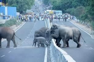 how many years is one human year photos shows indian elephants push baby motorway daily mail