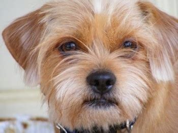 miniature pinscher mixed with shih tzu miniature pinscher shih tzu hybrid dogs breeds picture