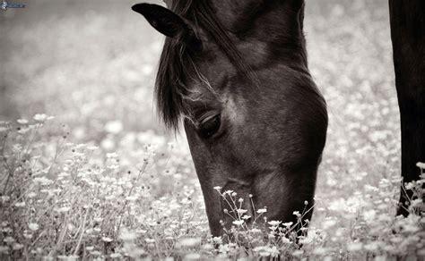 imagenes a blanco y negro de caballos pferd