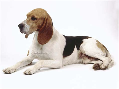 pictures of hound dogs artois hound dogs artois hound breed