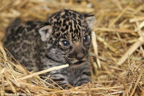 jaguar kitten jaguar cub born in uk at paradise wildlife park