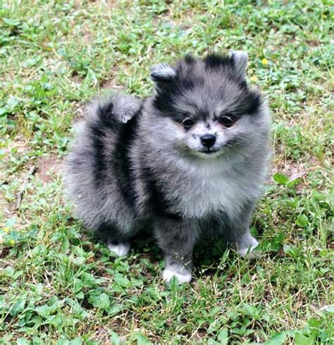 blue pomeranian puppies blue merle pomeranian search to a pom blue merle