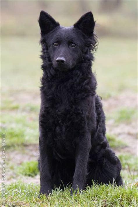 mudi puppies hungarian mudi i want one