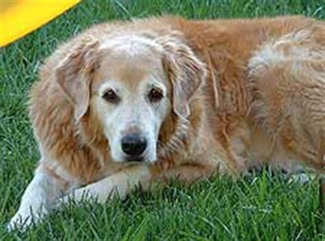 lipoma golden retriever vets animal hospital
