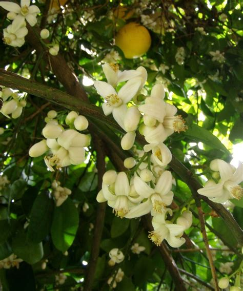 grape fruit tree 25 best ideas about grapefruit tree on indoor