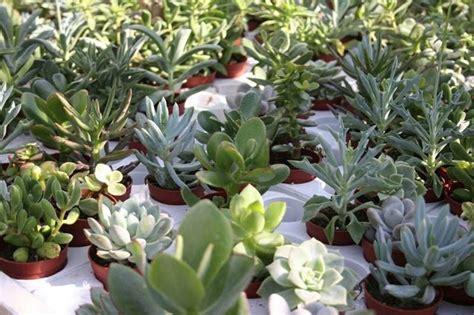 piante grasse in casa piante grasse in casa piante grasse come coltivare le
