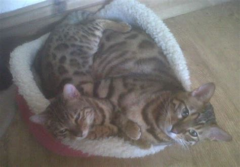 Do Bengal Cats Shed by White Bengal Cats Info White Bengal Cats Bengal Cats Is A Populer Breeds Picture