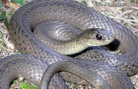 Garden Snake Oklahoma Northwestern Gartersnake Thamnophis Ordinoides