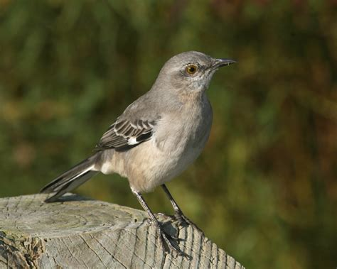 northern mockingbird photos birdspix