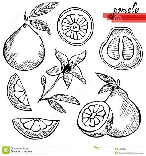 design element citrus pomelo fruits set stock vector illustration of eating