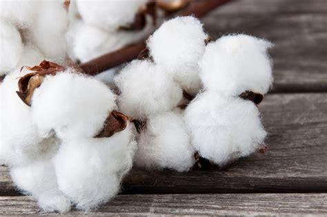fiori di cotone a rischio le coltivazioni di cotone manca l acqua