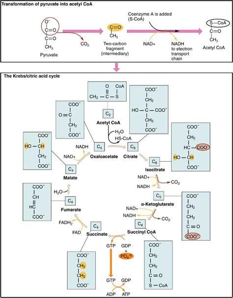 hans adolf krebs pdf cellular respiration equation types stages products