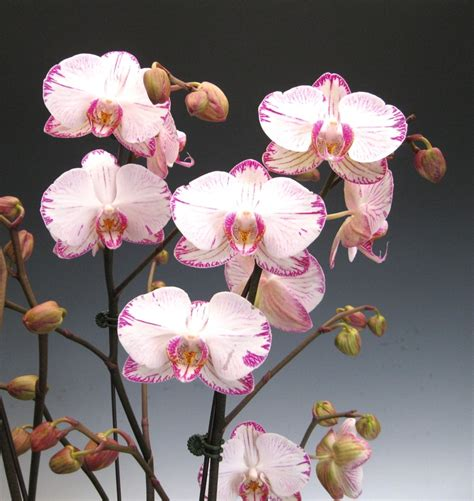 orchid flowers phalaenopsis quot minho princess quot most orchids would not grow well under a