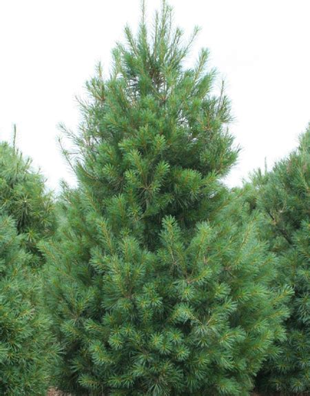 eastern white pine tree for sale fast growing trees com
