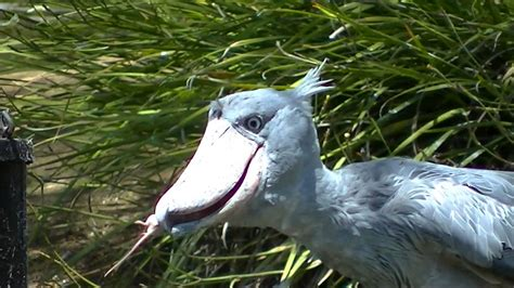 shoebill eats mice youtube