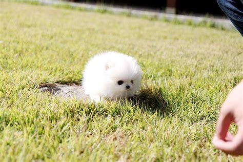 white fluffy teacup pomeranian puppies fluffy teacup pomeranian puppies beautiful teacup pomeranian puppy she s sooooo fluffy