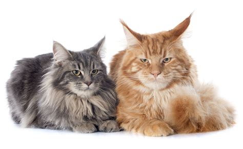 Cat Breeds 101: The Maine Coon   GreenGato.com