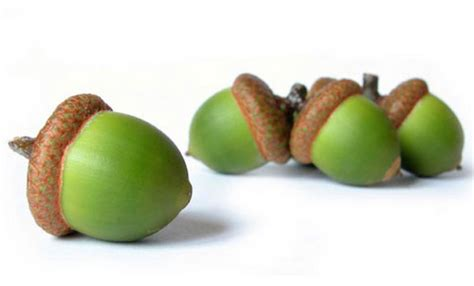 are acorns poisonous to dogs can dogs eat acorns can dogs eat this