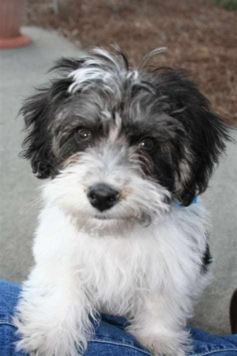 havanese mix havanese poodle mix havapoo what of