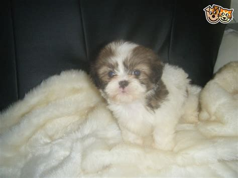 shih tzu rescue kansas city miniature shih tzu for adoption breeds picture