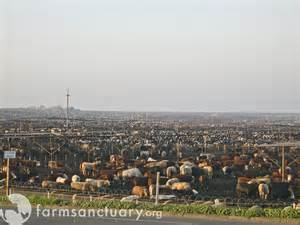 harris ranch feedlot in california harris ranch feedlot