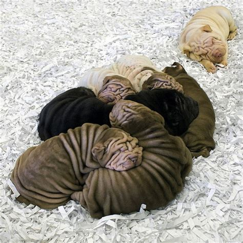 pictures of shar pei puppies wrinkly shar pei puppies are wrinkly teh