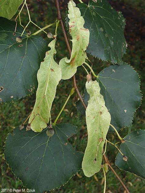 tilia cordata  leaf linden minnesota wildflowers