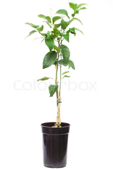 small potted plant isolated on white stock photo image seedling citrus tree plant in the small pot isolated on