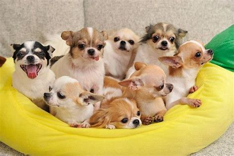 how many puppies does a chihuahua 8 things you didn t about chihuahuas quiz