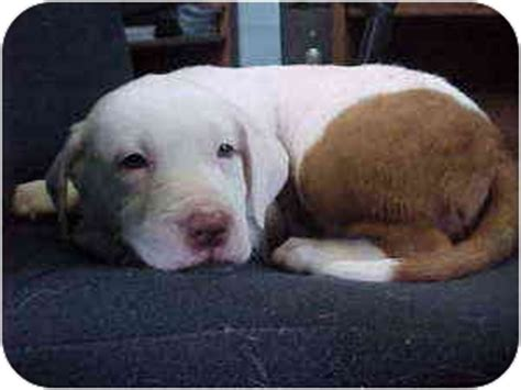 bulldog golden retriever buckley adopted puppy rochester mi golden retriever american bulldog mix