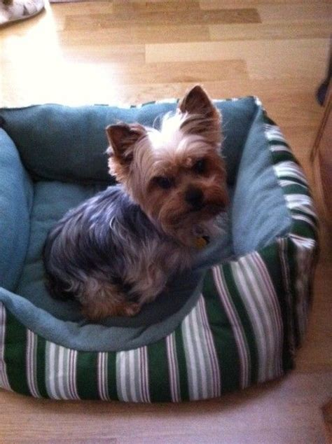 i want a teacup yorkie 69 best images about puppies on yorkie puppies for sale terrier