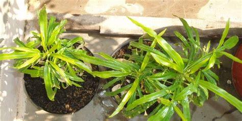 manfaat bunga lavendertanaman bunga hias