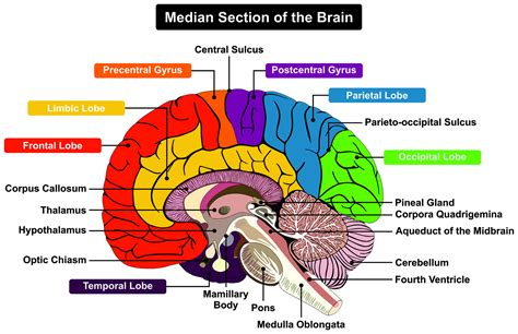 human brain sections cerebellum and cognition in multiple sclerosis the fall