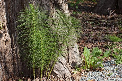 Wouldn T A Detox Kill Horsetail archerfriendly horsetail equisetum arvense