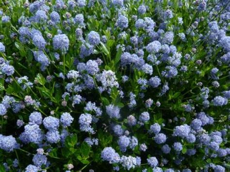 flowering evergreen shrubs growing blue ceanothus or californian lilac gardeners tips