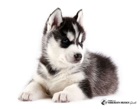 how to a siberian husky puppy 65 siberian husky puppy pictures and images